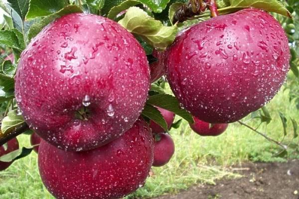 Выращивание и уход за яблоней кортланд