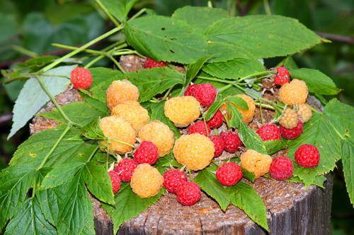 Подробное описание сорта малины краса россии (+фото)