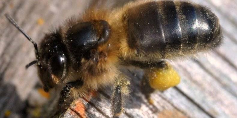 Кто такая медоносная пчела