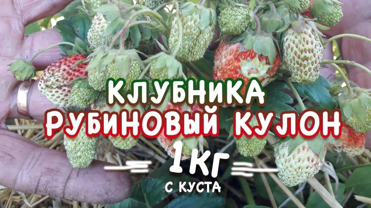 Клубника рубиновый кулон – неприхотливый сорт для дачников выходного дня