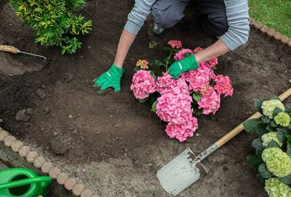 Подкормка гортензии весной и летом кефиром, навозом, золой и другими удобрениями