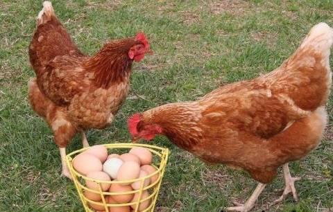 Родонит (курица): описание породы