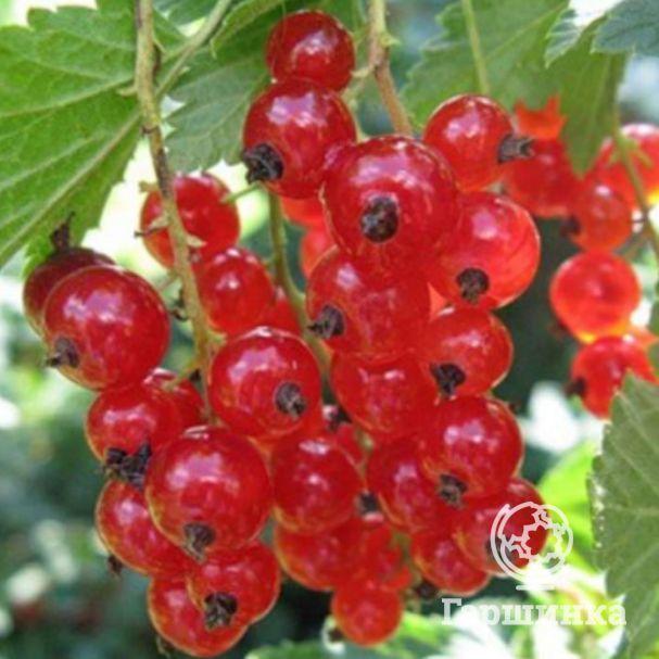 Посадка красной смородины, ее полезные свойства, сорта