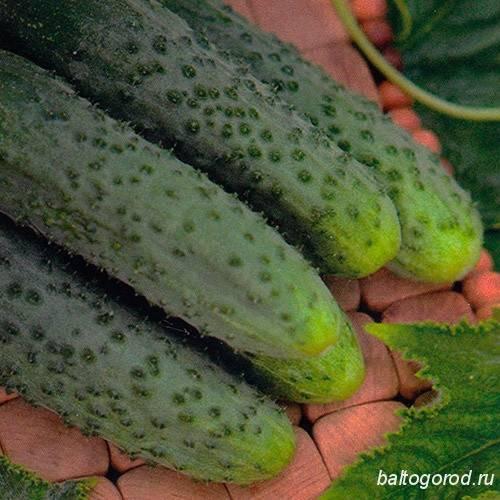 Идеальны для выращивания на подоконнике — огурец дамский угодник f1: полное описание, отзывы