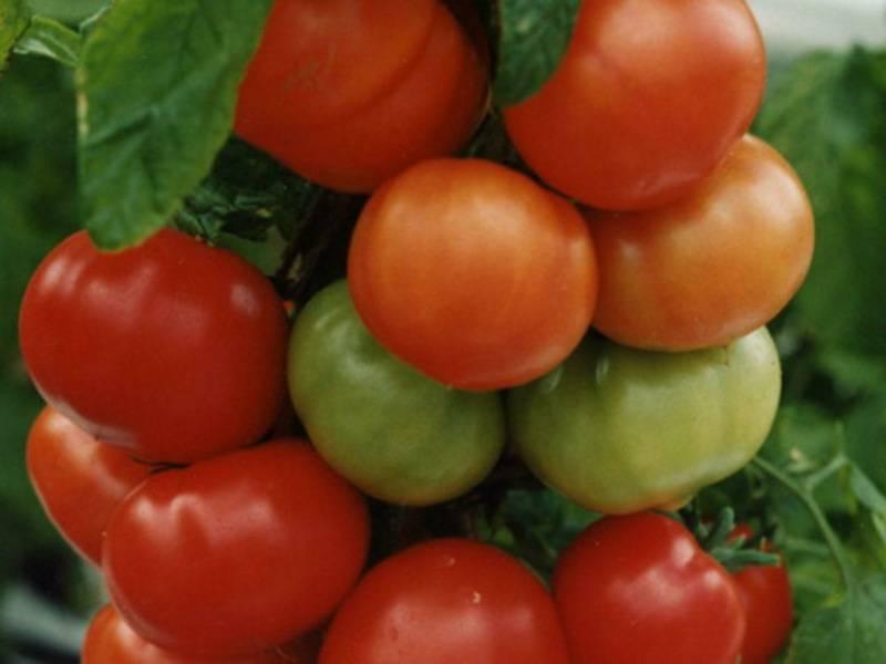 Характеристика и описание сорта помидоров оля f1
