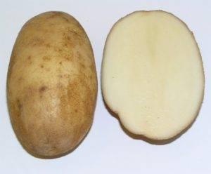 Общая характеристика и описание сорта картофеля «янка», особенности его выращивания и хранения