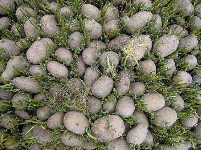 Как прорастить картофель для посадки в домашних условиях?