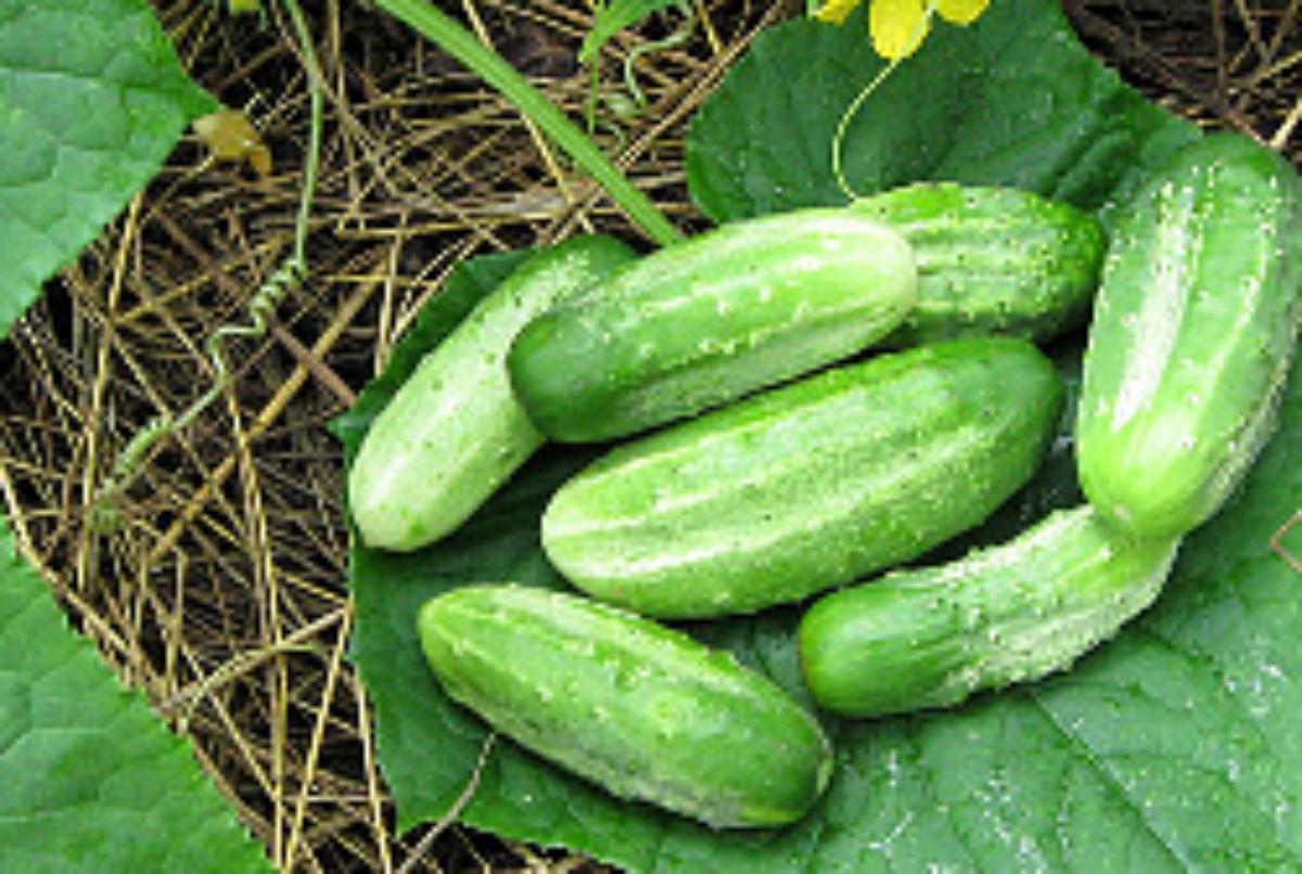 Гибрид огурцов «конкурент f1»: фото, видео, описание, посадка, характеристика, урожайность, отзывы