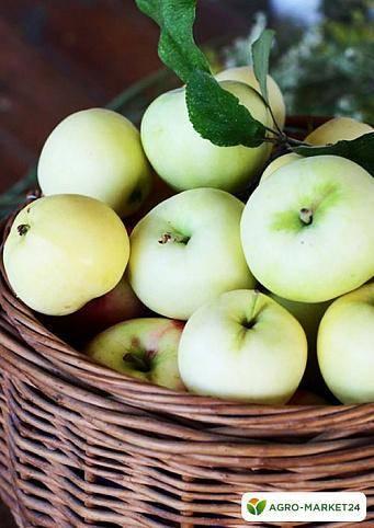 Описание сорта яблони белый налив и основы агротехники