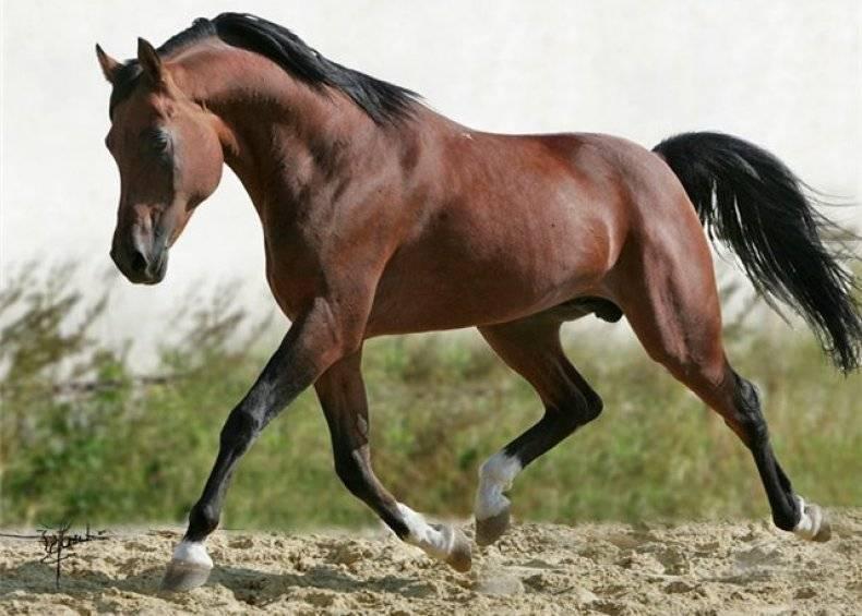 Чистокровная арабская лошадь