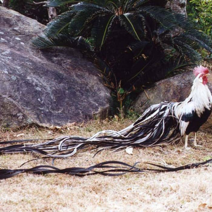 Описание породы кур феникс с фото и видео — внешние признаки