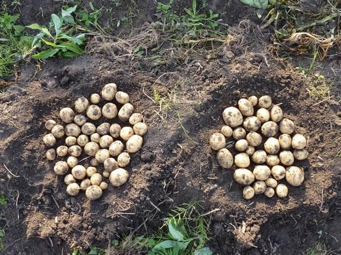 Картофель жуковский ранний: описание сорта, фото, отзывы