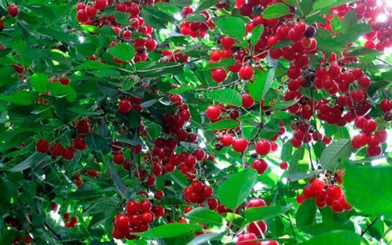 Описание и выращивание вишни шпанка