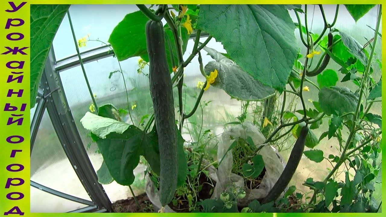 """Огурец """"изумрудный поток"""": описание сорта, особенности выращивания и отзывы"""