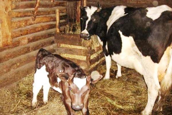 Охота у коров — все признаки! когда покрывать/осеменять?