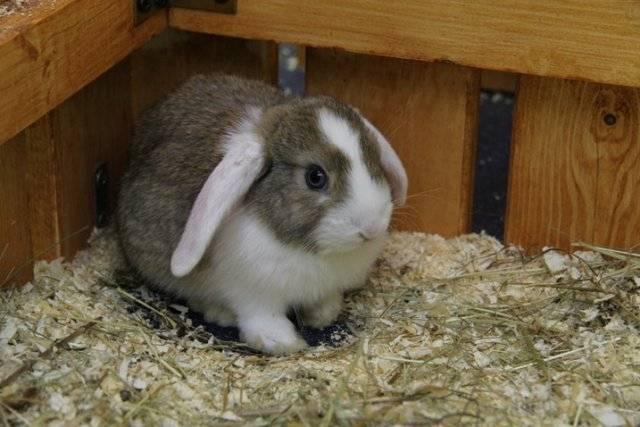 У кролика в ушах коросты — чем лечить