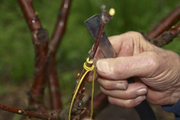 Прививка вишни для начинающих: весной и летом, к чему прививать, видео