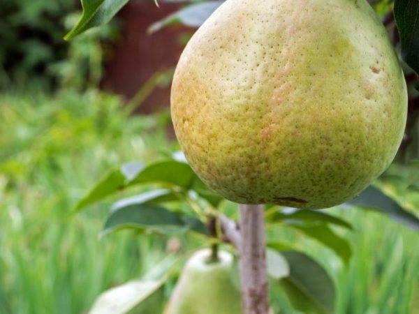 Карликовая (колоновидная) груша: разновидности, посадка и выращивание
