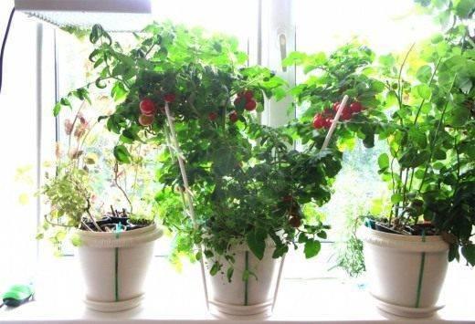 Вкусные помидоры дома - легко! какие сорта томатов можно вырастить на подоконнике и на балконе?