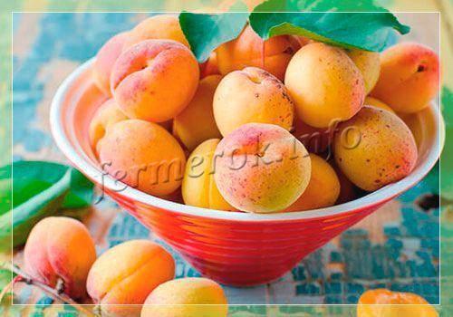 Обзор сорта абрикоса триумф северный