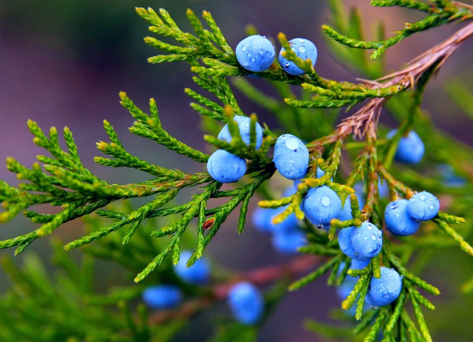 Лечебные свойства и применение ягод можжевельника