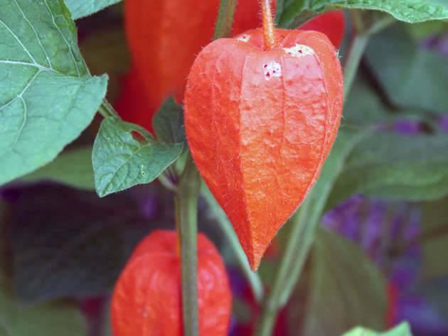 Физалис ягодный: выращивание и уход за культурой