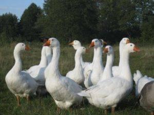 Легарт: описание датской породы гусей и выращивание