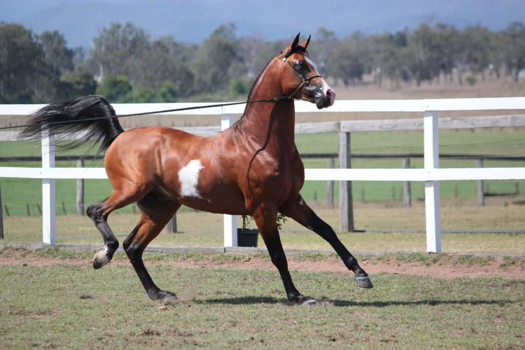 Арабская лошадь: описание породы и особенности характера