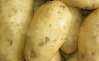 Финский картофель тимо: неприхотливый, скороспелый, высокоурожайный