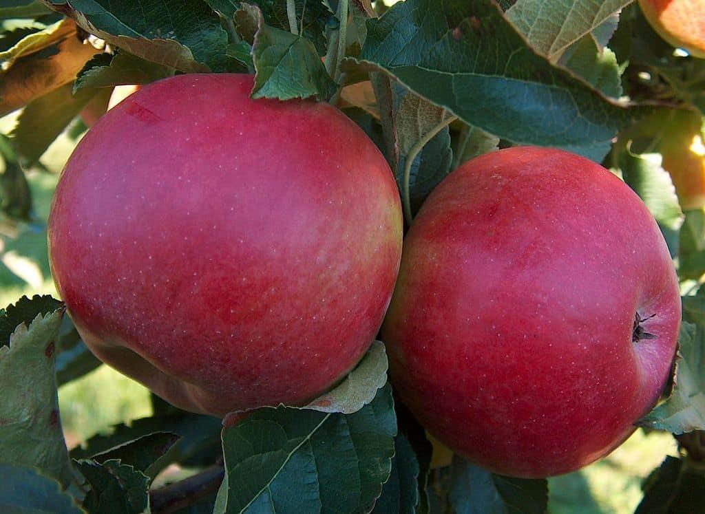 Сорт яблони спартан — выгодное приобретение с отличным вкусом