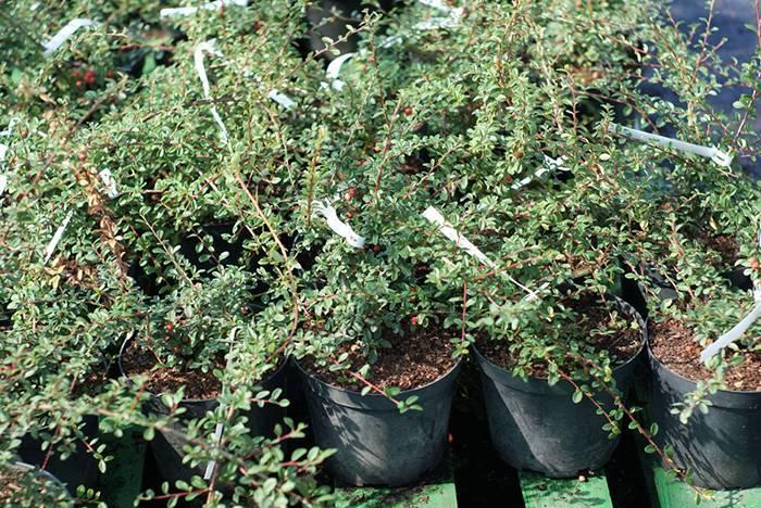 Кизильник горизонтальный: посадка и уход, особенности выращивания