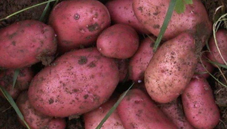 Описание и характеристика картофеля сорта лабадия