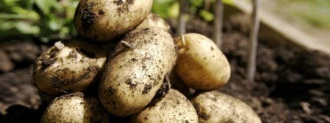 Выращиваем картофель «манифест» : описание сорта, характеристика, фото
