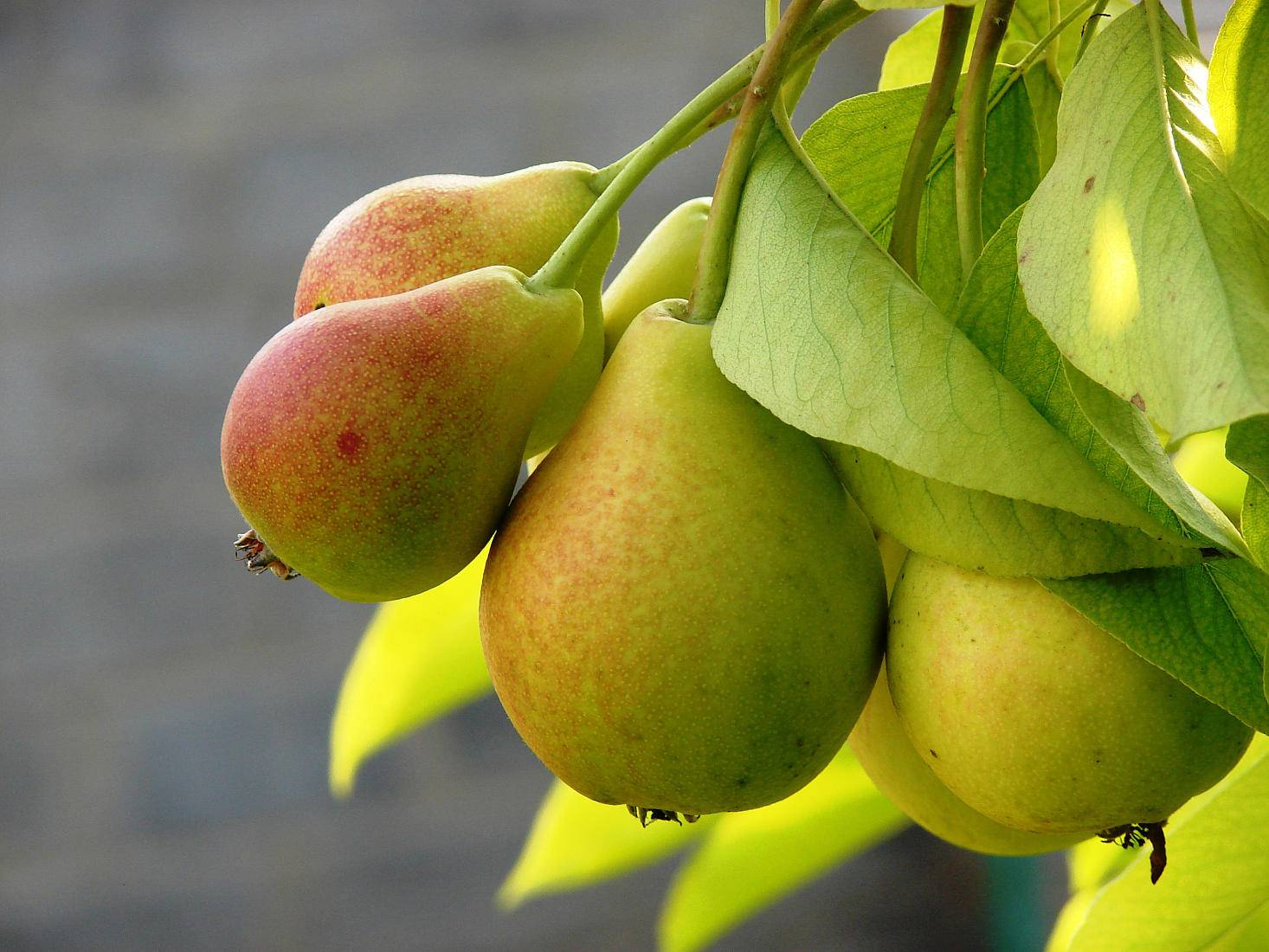 Зимняя груша ноябрьская — один из вкуснейших сортов