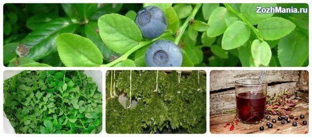 Листья черники: полезные свойства и противопоказания, возможный вред
