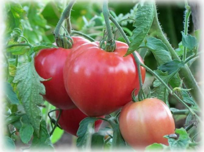 Лучшие сорта томатов сибирской селекции
