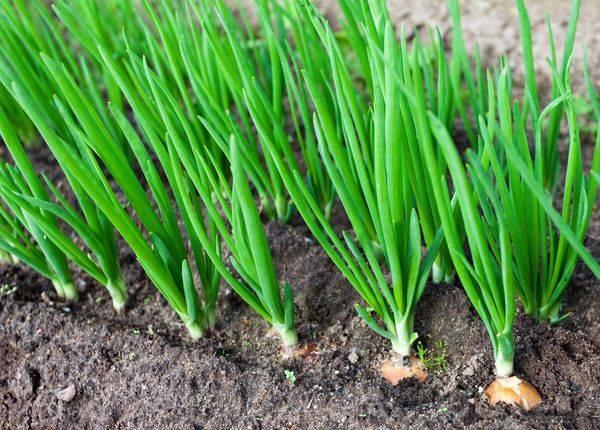 Чем удобрять яровой и озимый чеснок, чтобы получить хороший урожай