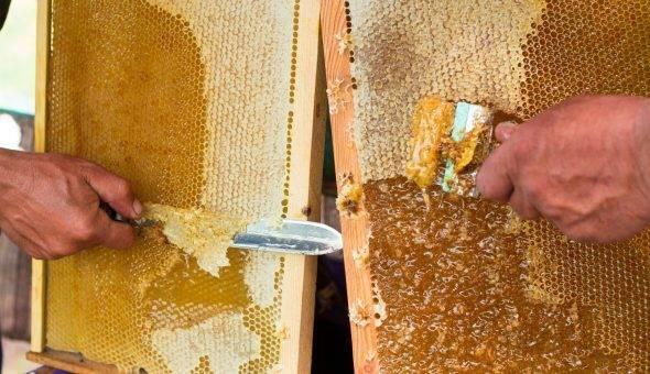 Забрус пчелиный — что это такое, лечебные свойства и как принимать?