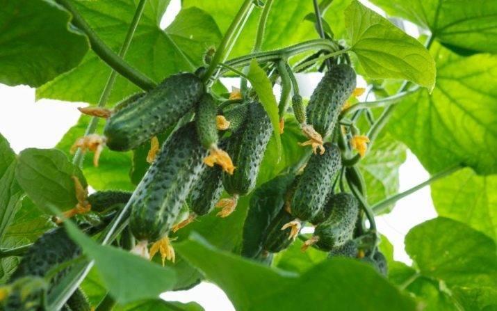 Огурцы посадка и уход в открытом грунте, секреты урожайности