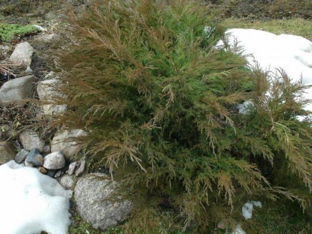 Почему желтеет можжевельник: как восстановить можжевеловое дерево. 115 фото основных вредителей и видео борьбы с ними