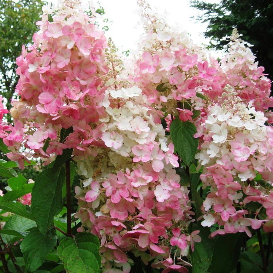 Гортензия пинки винки (hydrangea paniculata pinky winky) — описание - pocvetam.ru