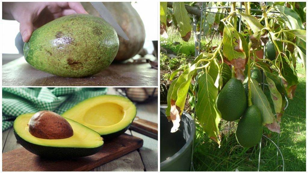 Заморский фрукт авокадо - экзотика у вас дома!