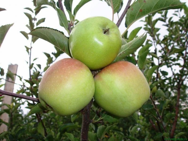 Колонновидная яблоня президент — всё от посадки до сбора урожая