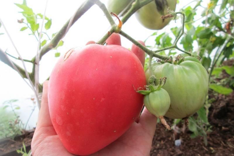 Мощный и надежный сорт томата «батяня» для любых климатических условий: описание, характеристика, посев на рассаду, подкормка, урожайность, фото, видео и самые распространенные болезни томатов