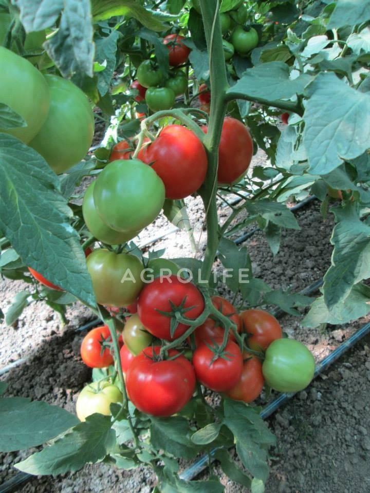 Описание сорта томата гравитет, особенности выращивания и ухода