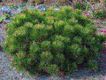 Горная сосна пумилио: виды сосны, описание