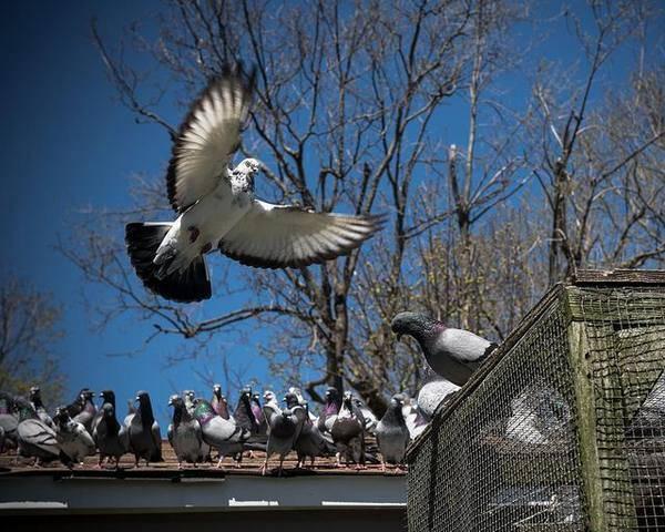 Чем болеют домашние голуби? их болезни, лечение и профилактика