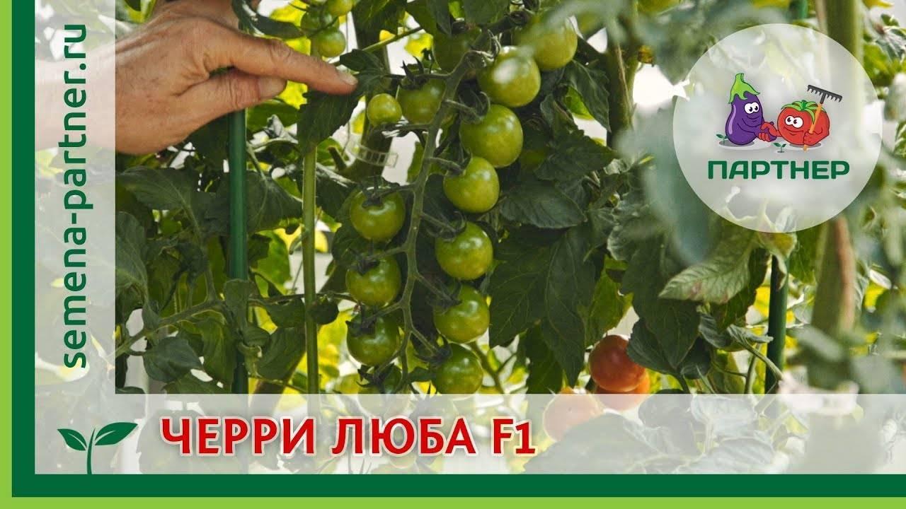 """Томат """"черри блосэм"""" f1: описание сорта, как выращивать,  секреты посадки и ухода, высота куста помидор, а также борьба с болезнями и вредителями"""