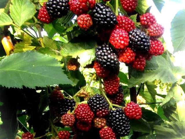 Особенности выращивания ежевики сорта дойл