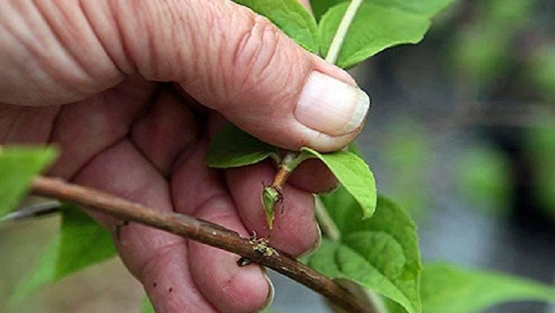 Как размножить жимолость черенками весной